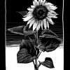 180814_Sonnenblume